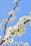 Cherry blossom with white flowers Stock Photography