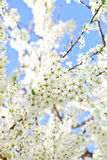 Cherry blossom with white flowers Stock Photo
