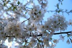 Cherry blossom. White flowers over blue sky Stock Photos