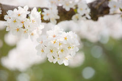 Cherry blossom. The White oriental cherry blossom of spring Stock Photography