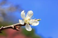Cherry blossom , white sakura flower Royalty Free Stock Images