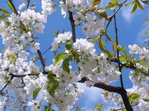 Cherry Blossom, White, Sky, Bloom Stock Images