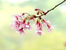 Cherry blossom. Wild Himalayan cherry Stock Photo