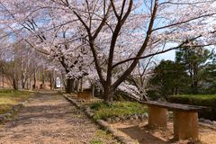 Cherry blossom and wooden bench in spring season. Cherry blossom will start blooming around the late March in Japan, Many visitors to Japan choose to travel in royalty free stock photography
