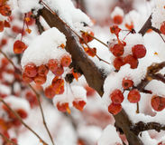 Cherry blossom in winter Stock Photo