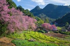 Cherry Blossom y Sakura Foto de archivo