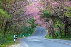 Cherry Blossom y Sakura Imagenes de archivo