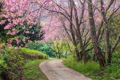 Cherry Blossom y Sakura en el camino Fotografía de archivo