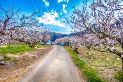 Cherry Blossom y Sakura en el camino Foto de archivo