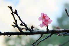 Cherry Blossom y Sakura en la Tailandia Foto de archivo libre de regalías