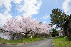 Cherry blossom at Yamagata castle (Kajo Park) Stock Image