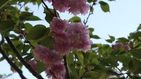 Cherry blossom in Yamaguchi University stock video
