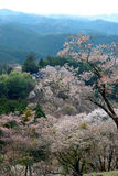 Cherry blossom in Yoshino, Japan Stock Photo