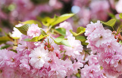 Cherry blossoming Stock Images