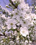 Cherry blossoming beauty purity flora background day outdoor bright botany decoration. Cherry blossoming background decoration  bright fresh botany day beauty Stock Photo