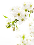 Cherry blossoming branch Stock Photography