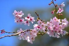 Cherry Blossoming en primavera en el parque de Cornualles Fotos de archivo libres de regalías