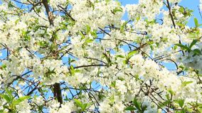 Blossoming cherry tree. White flowers. Spring garden. Cherry blossoming in spring. Branch of blossoming cherry in spring. White flowers of cherry tree blooming stock video footage