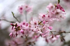Cherry Blossoming in spring in Cornwall Park Royalty Free Stock Images
