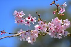 Cherry Blossoming in spring in Cornwall Park Royalty Free Stock Photos