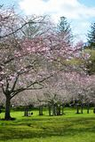 Cherry Blossoming in spring in Cornwall Park Stock Photo