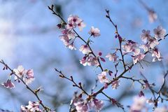 Cherry Blossoming in spring in Cornwall Park Royalty Free Stock Image