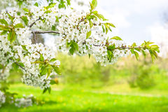 Cherry blossoming. Spring flowers over green nature background Royalty Free Stock Photos
