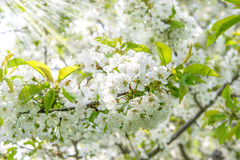 Cherry blossoming. Spring flowers with sun rays Stock Photography