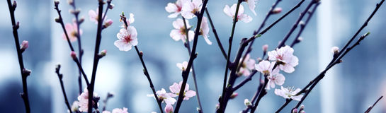 Cherry blossoming in  spring Royalty Free Stock Images