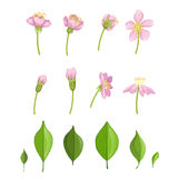 Cherry Blossoming Stages Illustration Photos libres de droits