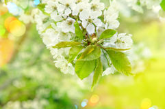 Cherry blossoming. Sunny day. Spring flowers with light leaks Royalty Free Stock Photos