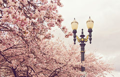 Cherry Trees in Portland Oregon. Blossoming cherry trees in Portland, Oregon stock photos