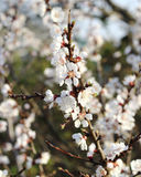Cherry blossoming Royalty Free Stock Photography