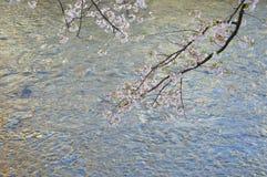 Cherry Blossoms über dem Fluss Stockbild