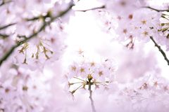 Cherry blossoms. Close-up shot of bloomed cherry blossoms Stock Image