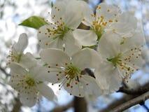 Cherry Blossoms Image libre de droits