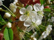 Cherry Blossoms Foto de archivo