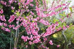 Cherry Blossoms Royalty-vrije Stock Afbeelding
