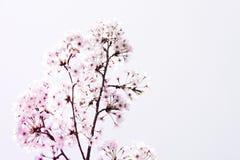 Cherry Blossoms Photographie stock libre de droits