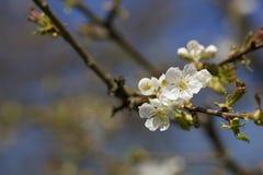 Cherry Blossoms Fotografia de Stock Royalty Free