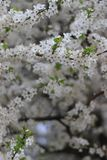 Cherry Blossoms Stockbild