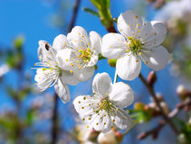Cherry blossoms. Closeup of cherry blossoms on blue sky royalty free stock photo