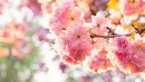 Cherry Blossoms lizenzfreie stockfotografie