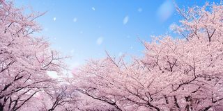 Free Cherry Blossoms Stock Photo - 12541050
