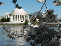 Cherry blossoms 13 of DC. Photo of early blooming Cherry Blossoms in Washington, DC during the beginning of Spring with Jefferson Memorial in the background stock photography