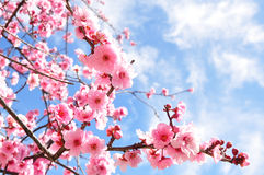 Cherry Blossoms. Pink Cherry Blossoms were in full swing this first sunny day of spring Stock Photos