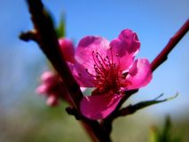 Cherry blossoms. Pink cherry blossoms on a softly blurred blue background stock images
