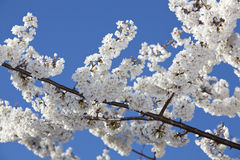 Free Cherry Blossoms Royalty Free Stock Photography - 18975137