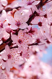 Cherry blossoms. Spring cherry blossoms on pink and blue background Stock Image
