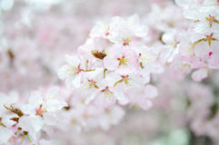 Cherry Blossoms. White and pink blossoms of Sargent Cherry, spring background Stock Photography